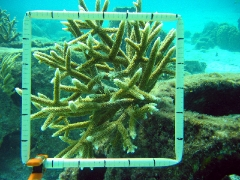 Coral Grown From Tiny Fragment